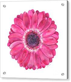 Magenta Gerbera Daisy Acrylic Print