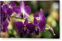 Magenta Orchids Acrylic Print