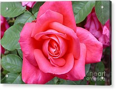 Magenta Rose Magic Acrylic Print by Paul Clinkunbroomer