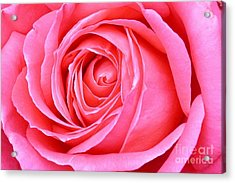 Magenta Rose Acrylic Print by Paul Clinkunbroomer