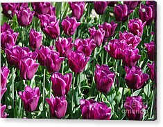 Acrylic Print featuring the photograph Magenta Tulips by Allen Beatty