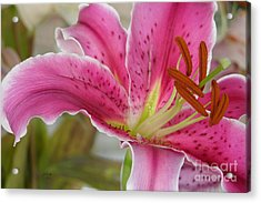 Magenta Tiger Lily Acrylic Print