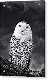 Acrylic Print featuring the photograph Magic Beauty - Snowy Owl by Adam Olsen