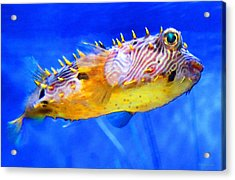 Magic Puffer - Fish Art By Sharon Cummings Acrylic Print by Sharon Cummings