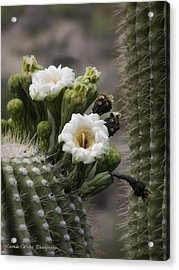 Acrylic Print featuring the photograph Magnificant Bloom Of The Saguaro by Lucinda Walter