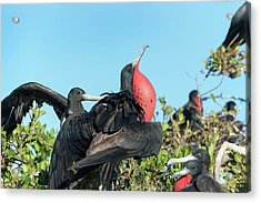 Magnificent Frigatebird Displaying Acrylic Print by Christopher Swann
