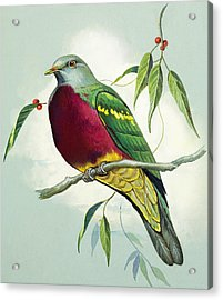 Magnificent Fruit Pigeon Acrylic Print