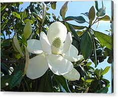 Magnificent Magnolia Acrylic Print by June Holwell