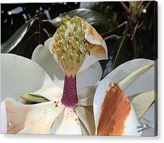 Magnolia Magnicence  Acrylic Print