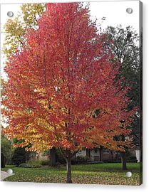 Acrylic Print featuring the photograph Magnificent Maple by Bill Woodstock