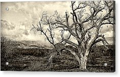 Magnificent Shoe Tree Near San Felipe Road Acrylic Print by Ron Regalado