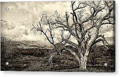 Magnificent Shoe Tree Near San Felipe Road Acrylic Print by Ron Regalado
