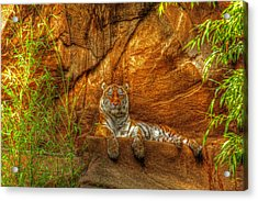 Magnificent Tiger Resting Acrylic Print by Andy Lawless