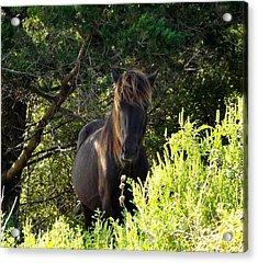 Magnificent Wild Horse Acrylic Print