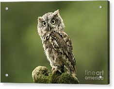 Magnifique  Eastern Screech Owl Acrylic Print by Inspired Nature Photography Fine Art Photography