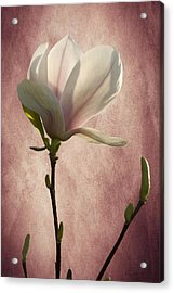 Acrylic Print featuring the photograph Magnolia by Ann Lauwers