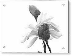 Magnolia Bloom 1 Acrylic Print by Tammy Schneider