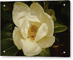 Magnolia Bloom Acrylic Print by Debra Crank
