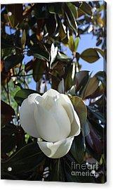 Magnolia Bloom Acrylic Print