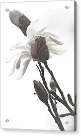 Magnolia Bloom Acrylic Print by Tammy Schneider