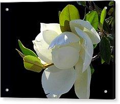 Magnolia Blossom Acrylic Print by Ginny Schmidt
