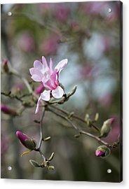 Magnolia Blossom In Tree 3 Acrylic Print by Rebecca Cozart