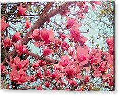 Magnolia Blossoms In Spring Acrylic Print