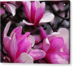 Acrylic Print featuring the photograph Magnolia Blossoms by Olivia Hardwicke