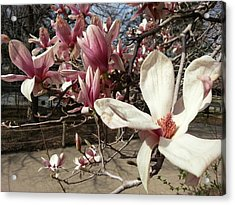Acrylic Print featuring the photograph Magnolia Branches by Caryl J Bohn