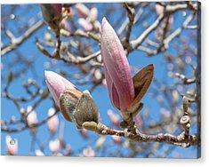 Magnolia Bud Acrylic Print by Greg Thiemeyer