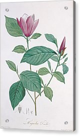 Magnolia Discolor Engraved By Legrand Acrylic Print by Henri Joseph Redoute