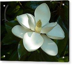 Magnolia Acrylic Print by Frank Tozier