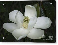 Magnolia Grandiflora Blossom - Simply Beautiful Acrylic Print