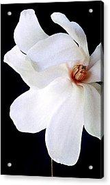 Magnolia IIi Acrylic Print