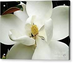 Magnolia In Color Acrylic Print by Nancy E Stein