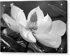 Magnolia In May - Black And White Acrylic Print