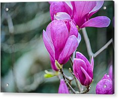 Magnolia Acrylic Print by Jon Woodhams