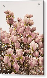 Magnolia Acrylic Print by Mats Silvan