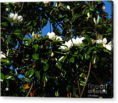 Magnolia Setting Acrylic Print by Greg Patzer