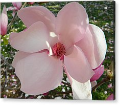 Magnolia Surprise Acrylic Print