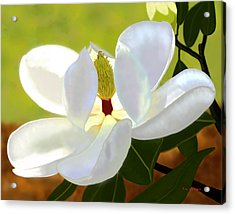 Magnolia Acrylic Print by Tim Stringer