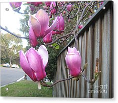 Acrylic Print featuring the photograph Magnolias In Bloom by Leanne Seymour