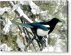 Magpie In The Snow Acrylic Print