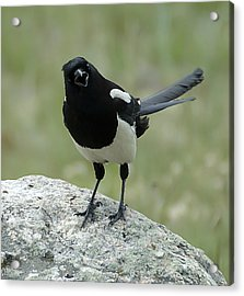 Magpie Acrylic Print by Lee Kirchhevel