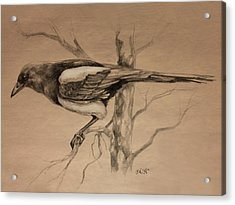 Magpie Sketch Acrylic Print