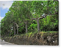 Mahogany Trees In Barbados Acrylic Print by Willie Harper