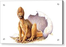 Maiasaura Dinosaur Egg Hatching Acrylic Print