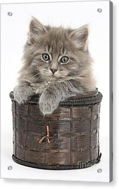 Maine Coon Kitten, Basket Acrylic Print by Mark Taylor