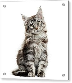 Maine Coon Kitten In Front Of White Acrylic Print by Life On White