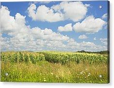Maine Corn Field In Summer Photo Print Acrylic Print